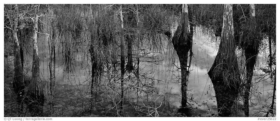 Calm sky and cypress trees reflections. Everglades National Park (black and white)