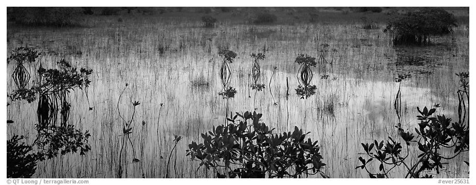 Mangroves and reflections. Everglades National Park (black and white)