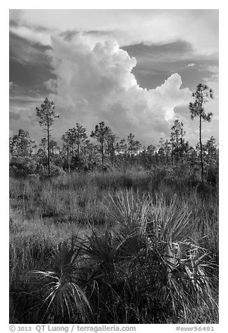 Palmetto, pines, and summer afternoon clouds. Everglades National Park (black and white)
