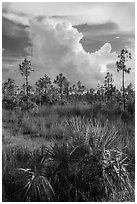Palmetto, pines, and summer afternoon clouds. Everglades National Park, Florida, USA. (black and white)