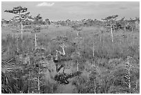 Cypress landscape with Z-tree. Everglades National Park ( black and white)