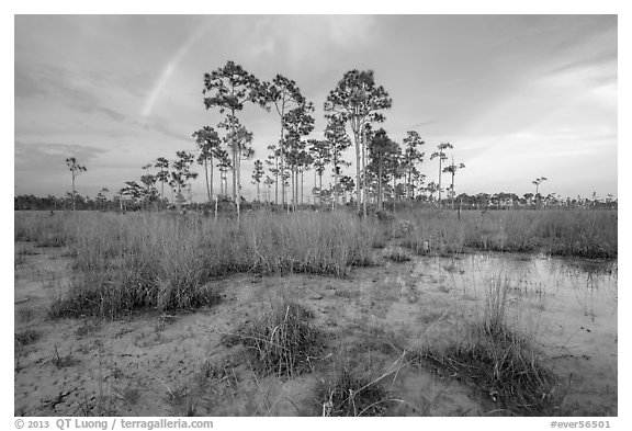Pine trees and rainbow in summer. Everglades National Park (black and white)