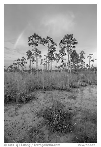 Pine trees and rainbow at sunset. Everglades National Park (black and white)