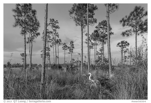 Pinelands with great white heron. Everglades National Park (black and white)