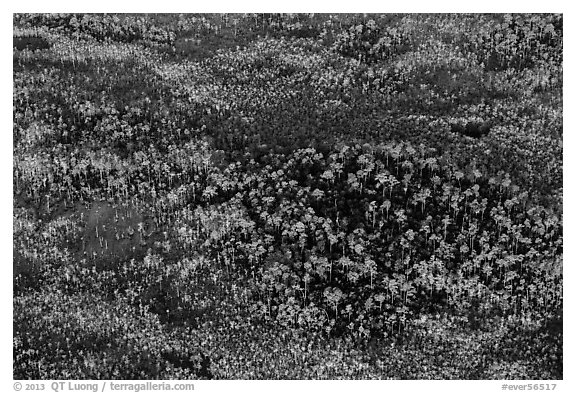 Aerial view of pine trees. Everglades National Park (black and white)