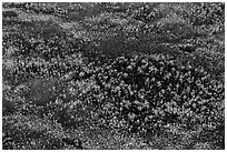Aerial view of pine trees. Everglades National Park, Florida, USA. (black and white)