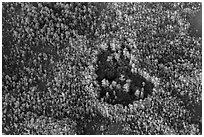 Aerial view of a cypress hole. Everglades National Park, Florida, USA. (black and white)