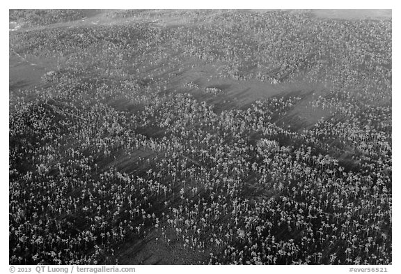Aerial view of pine forest. Everglades National Park (black and white)