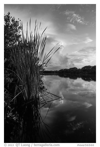 Aquatic plants on shores of Paurotis Pond. Everglades National Park (black and white)