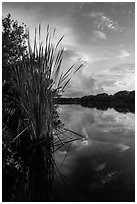 Aquatic plants on shores of Paurotis Pond. Everglades National Park ( black and white)