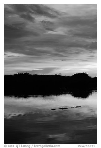 Alligator swimming in Paurotis Pond, sunset. Everglades National Park (black and white)