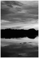 Alligator swimming in Paurotis Pond, sunset. Everglades National Park ( black and white)