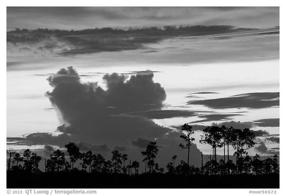 Pines and clouds at sunset. Everglades National Park (black and white)