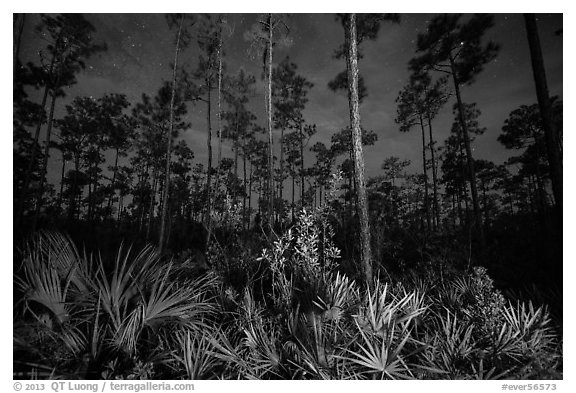 Palmeto and pines at night. Everglades National Park (black and white)