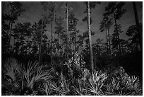Palmeto and pines at night. Everglades National Park ( black and white)