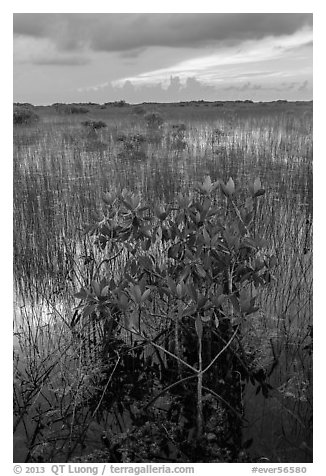 Freshwater marsh with Red Mangrove. Everglades National Park (black and white)
