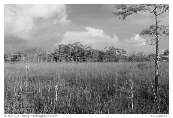 Sawgrass and cypress dome in summer. Everglades National Park (black and white)