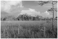 Sawgrass and cypress dome in summer. Everglades National Park ( black and white)