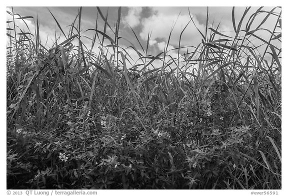 Flowers and tall grasses in summer. Everglades National Park (black and white)