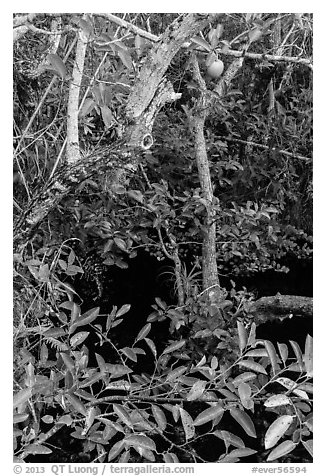 Alligator Apple (Annoma Glabra) tree and fruits. Everglades National Park (black and white)