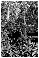 Alligator Apple (Annoma Glabra) tree and fruits. Everglades National Park, Florida, USA. (black and white)