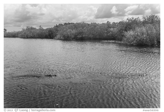Two alligators swimming. Everglades National Park (black and white)