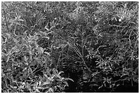Pond Apple with fruits growing in marsh. Everglades National Park, Florida, USA. (black and white)