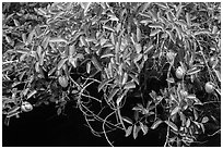 Pond Apple (Annoma Glabra) with fruits. Everglades National Park, Florida, USA. (black and white)