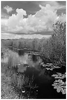 Freshwater marsh in summer. Everglades National Park, Florida, USA. (black and white)