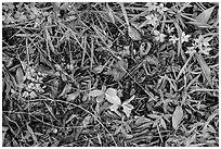 Ground close-up, hammock. Everglades National Park ( black and white)