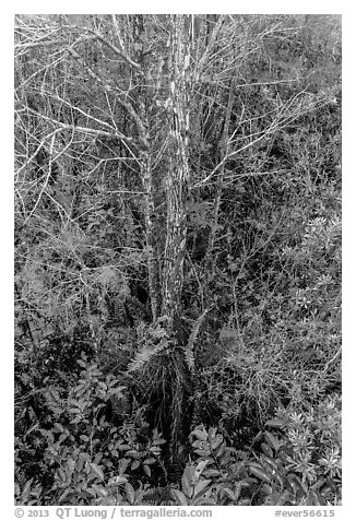 Looking down cypress grove in summer, Pa-hay-okee. Everglades National Park (black and white)