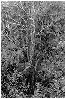 Looking down cypress grove in summer, Pa-hay-okee. Everglades National Park ( black and white)
