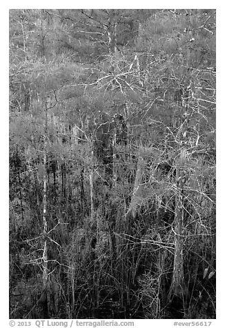 Cypress with green needles. Everglades National Park (black and white)