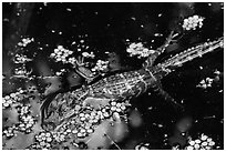 Baby alligator in pond. Everglades National Park ( black and white)