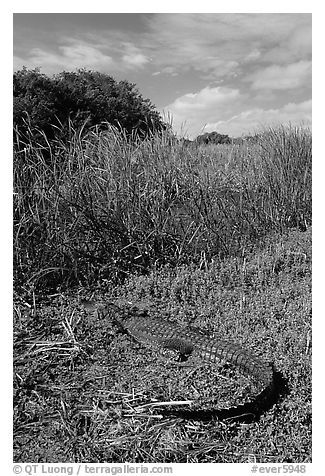 Young alligator at Eco Pond. Everglades National Park (black and white)