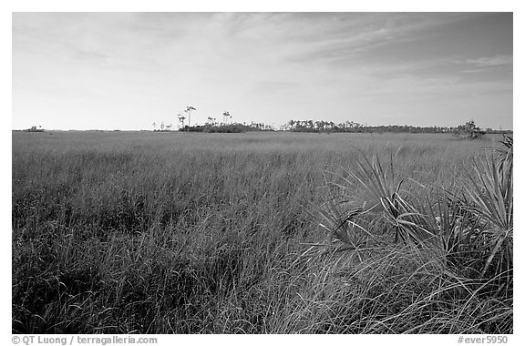 Sawgrass prairie and distant pines near Mahogany Hammock, morning. Everglades National Park (black and white)