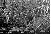 Lily pads and thicket, Shark Valley. Everglades National Park ( black and white)