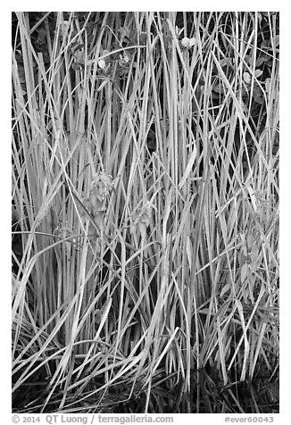 Aquatic grasses, Shark Valley. Everglades National Park (black and white)