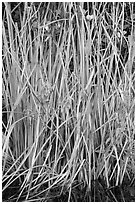 Aquatic grasses, Shark Valley. Everglades National Park ( black and white)