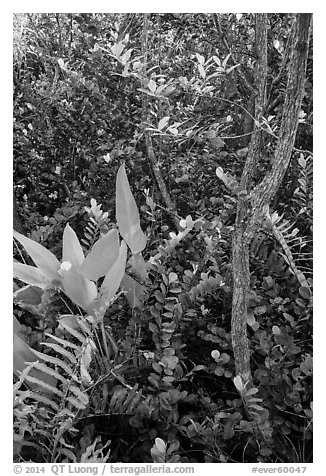 Tropical hardwood forest in hammock, Shark Valley. Everglades National Park (black and white)