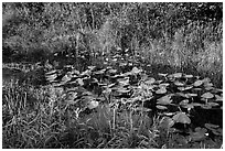 Grasses and water lillies, Shark Valley. Everglades National Park ( black and white)
