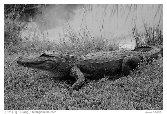 Alligator next to pond, Shark Valley. Everglades National Park (black and white)