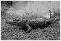 Alligator next to pond, Shark Valley. Everglades National Park ( black and white)