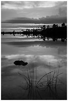 Reeds and pine trees at sunset, Pines Glades Lake. Everglades National Park ( black and white)