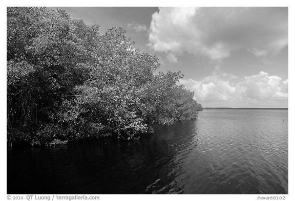 Mangroves bordering Coot Bay. Everglades National Park (black and white)
