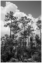 Pines and summer clouds. Everglades National Park ( black and white)
