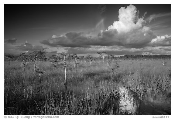 Dwarf Cypress and summer clouds. Everglades National Park (black and white)