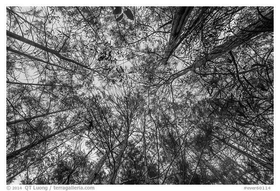 Looking up cypress dome. Everglades National Park (black and white)