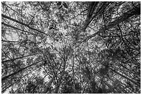 Looking up cypress dome. Everglades National Park ( black and white)