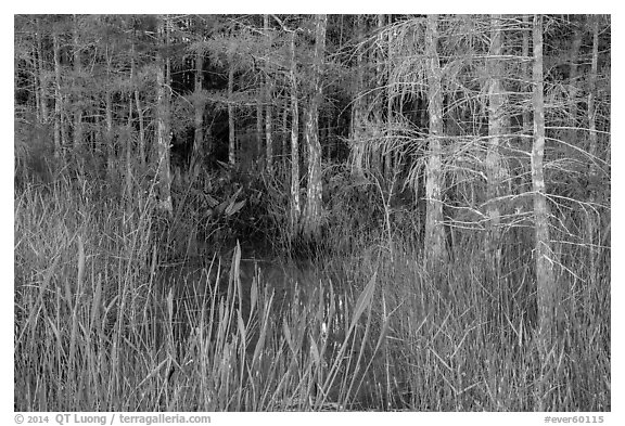 Cypress in summer. Everglades National Park (black and white)